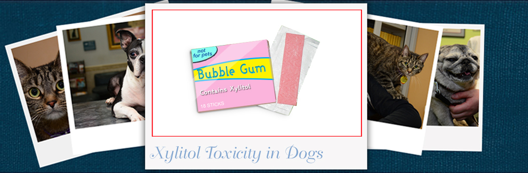Xylitol Toxicity in Dogs | Xylitol is Poisonous to Dogs | My